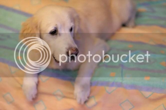 snowbear dog