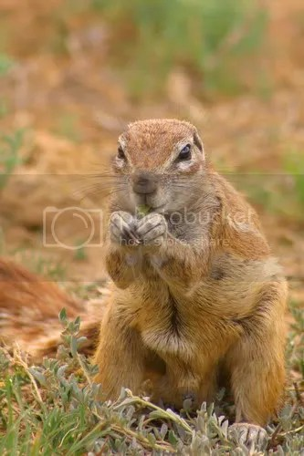 Ground Squirel