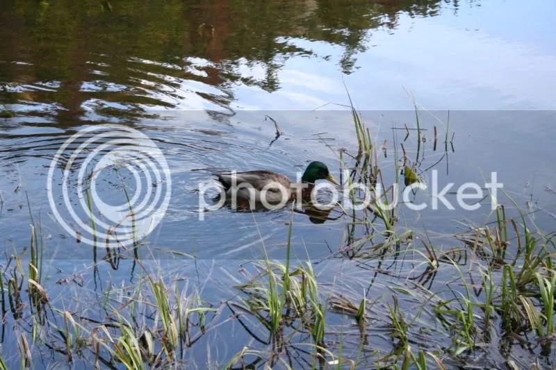 Mallard at Nymph Lake