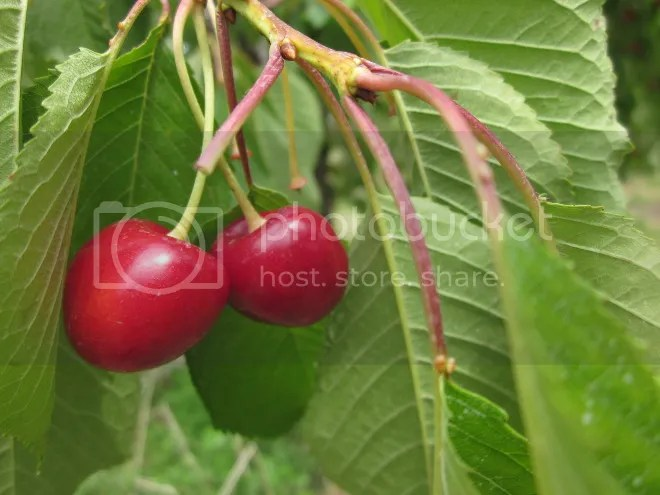 photo cherries_zpsdfba9d85.jpg