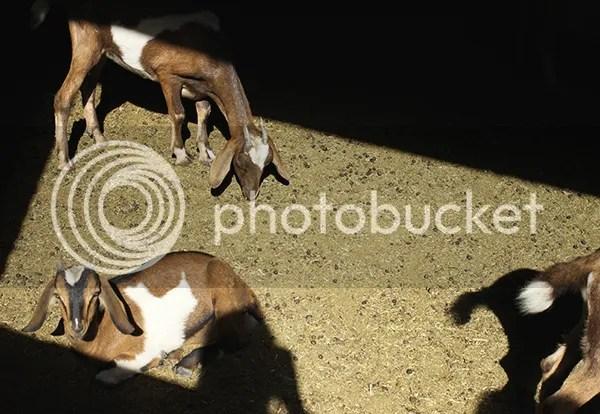 photo goat4_zps3b0af02b.jpg