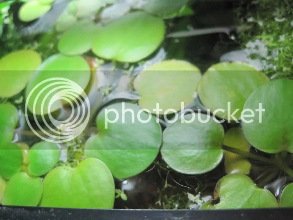 Frogbit Plant Sale