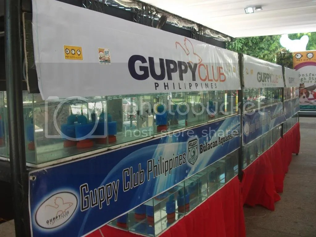Freshwater aquarium fish for sale philippines - Guppy Club Of The Philippines