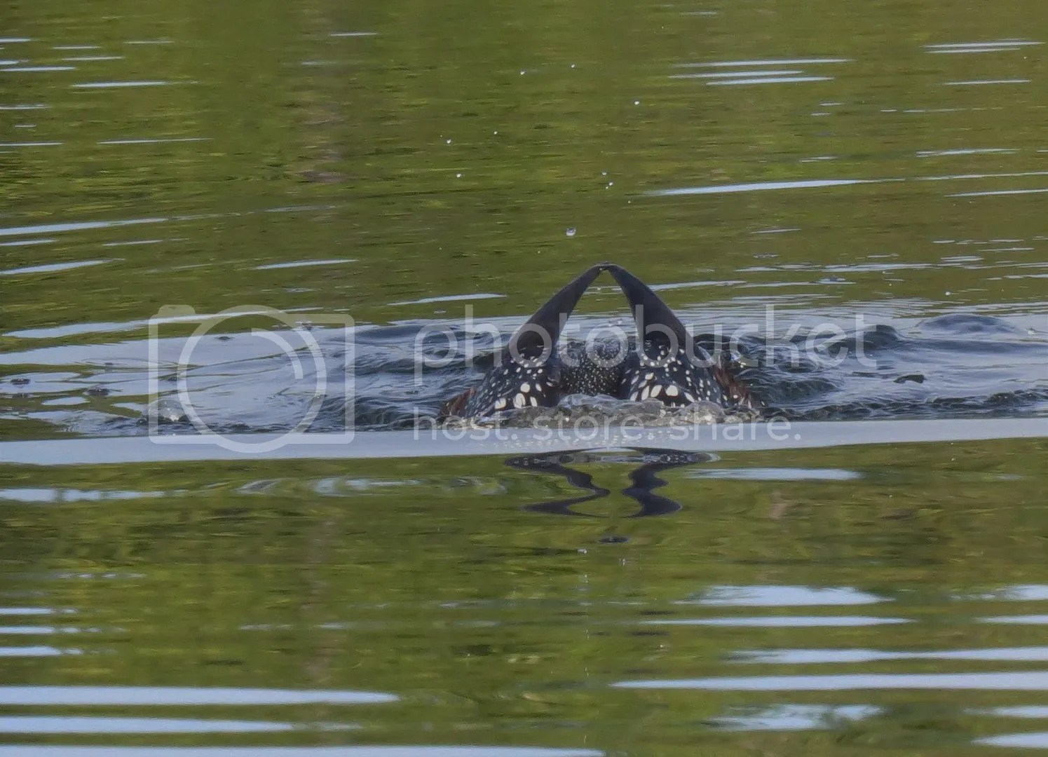 Common Loon photo IMG_0625_zpsynsd5jmq.jpg