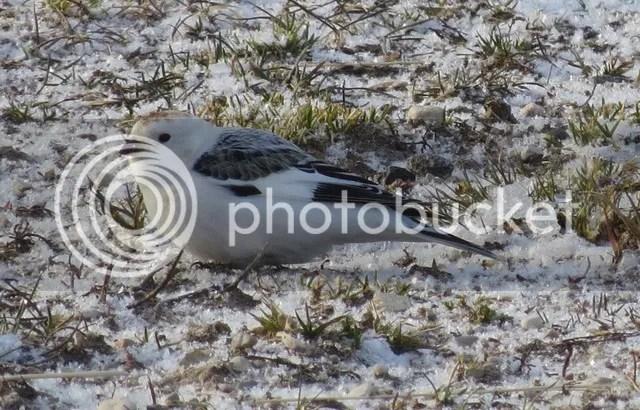 Snow Bunting photo IMG_2509_zpsfu2res6r.jpg