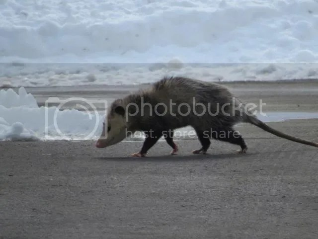 Opossum crossing the Road photo IMG_3387_zps00029943.jpg