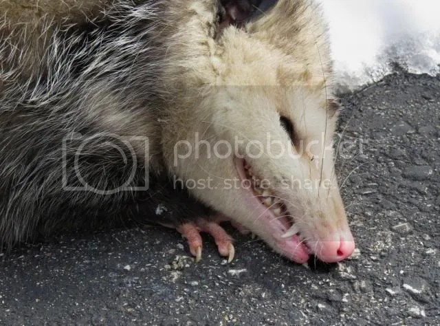 Oppossum playing Dead photo IMG_3414_zps3e1f25e3.jpg