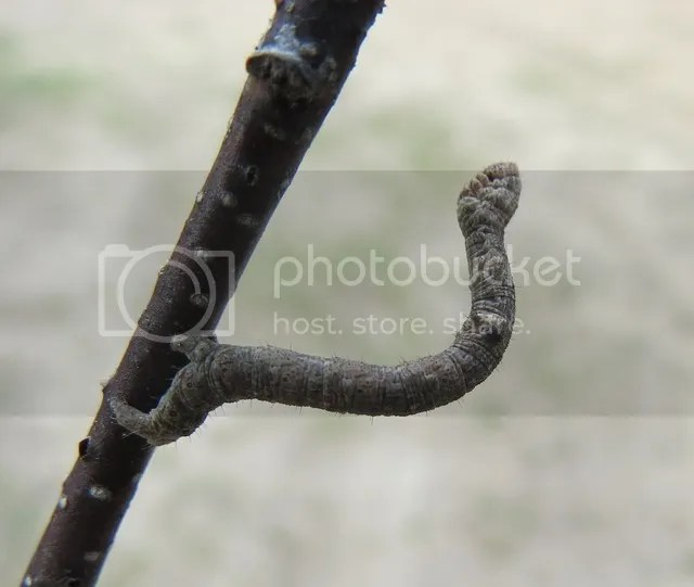 Twig-mimic Inchworm photo IMG_3418_zpsuojnnw1d.jpg