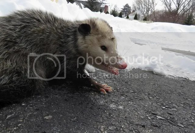 Opossum with a Sneer photo IMG_3419_zpscacd1276.jpg