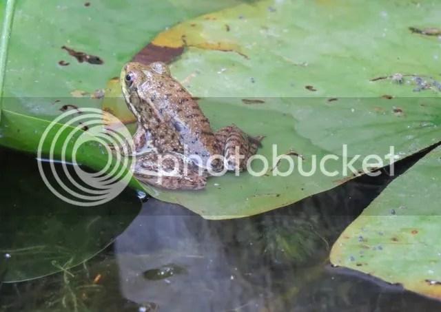 Green Frog photo IMG_3822_zpsljg7gdzv.jpg