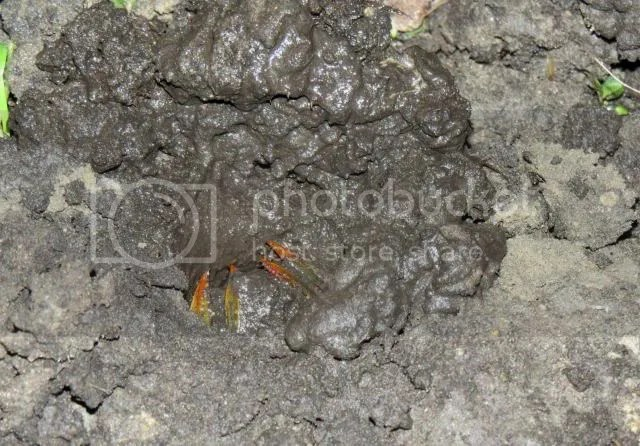 Burrowing Crayfish Excavating photo IMG_4317_zps456581fe.jpg