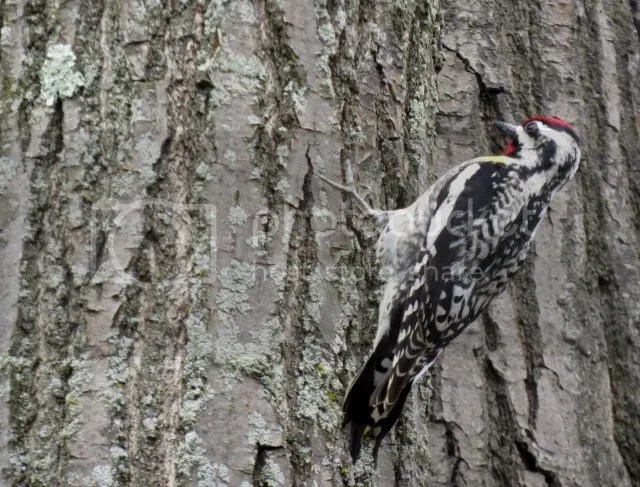 Yellow-bellied Sapsucker photo IMG_4595_zpsdb68abc9.jpg
