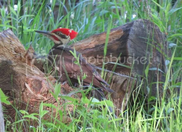 Pileated Woodpecker- Male photo IMG_4974_zps3c35771c.jpg