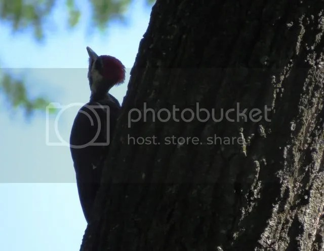 Pileated Profile photo IMG_4985_zps79f4d2a4.jpg