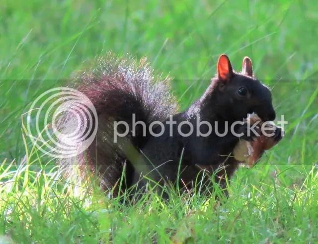 Grey Squirrel Eating a Large Mushroom photo IMG_5638_zps5d0f392d.jpg