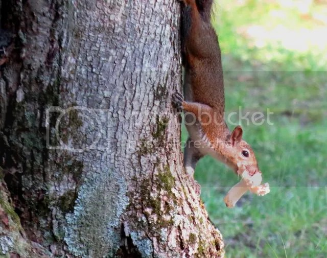 Grey Squirrel with Large Mushroom photo IMG_5748_zps56edb443.jpg