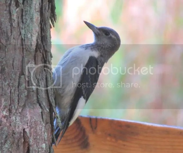 Immature Red-headed Woodpecker photo IMG_5996_zps84446079.jpg