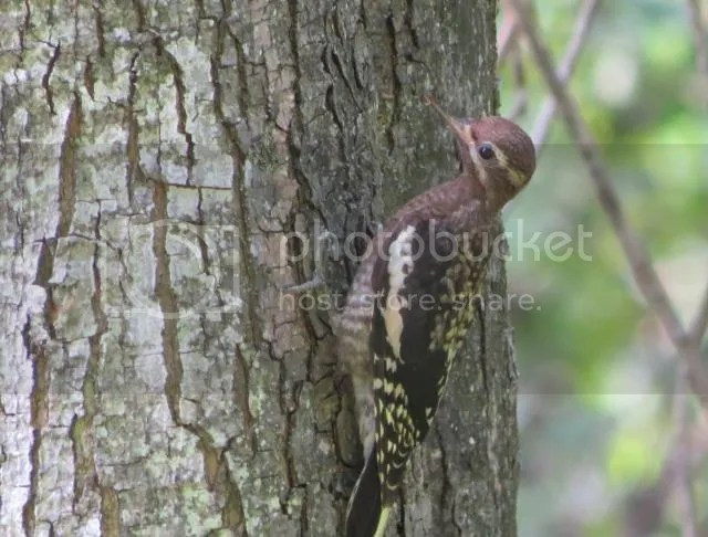 Immature Yellow-bellied Sapsucker photo IMG_6013_zpsc920df18.jpg
