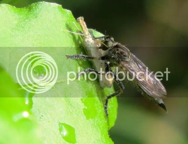 Machimus Robber Fly photo IMG_6200_zpsb1f90e89.jpg