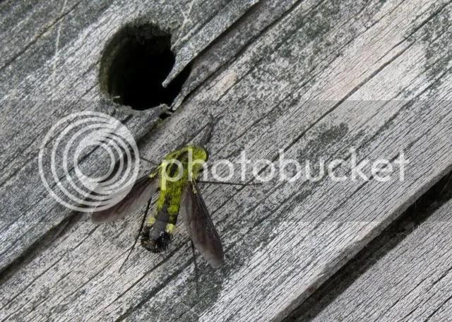 Hunchback Bee Fly photo IMG_6215_zps28fadcf8.jpg