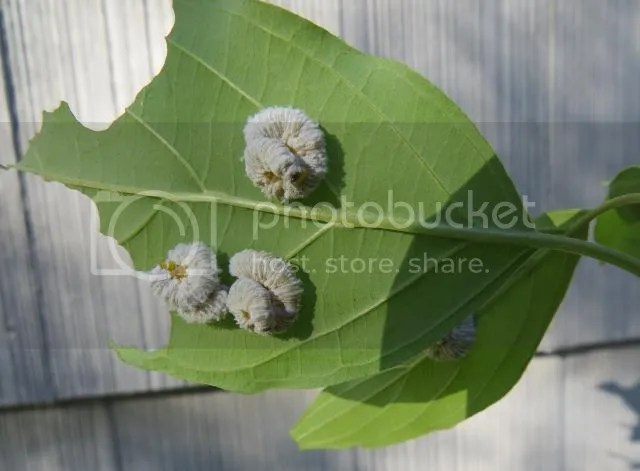 Dogwood Saw Fly Larvae photo IMG_6370_zps137cfa90.jpg