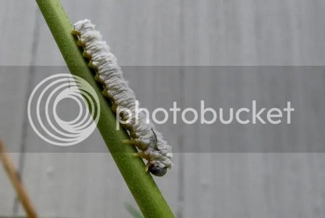 Dogwood Saw Fly Larva photo IMG_6376_zps54a5652a.jpg