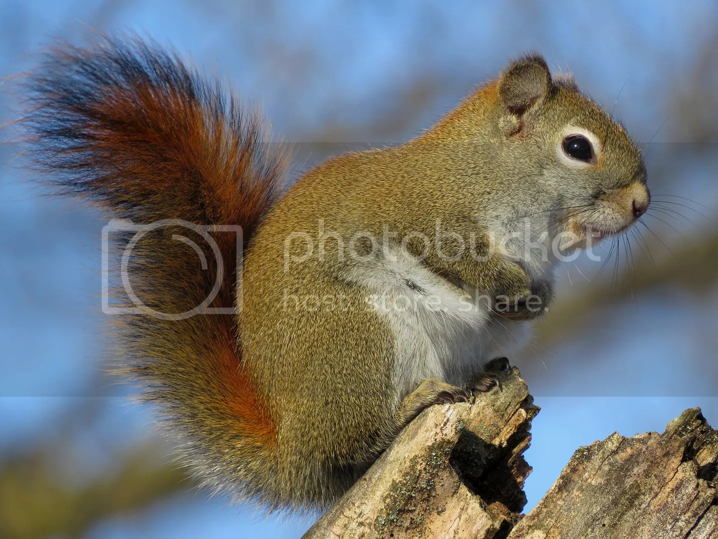 Winter Red Squirrel photo IMG_7290_zps3eec3725.jpg