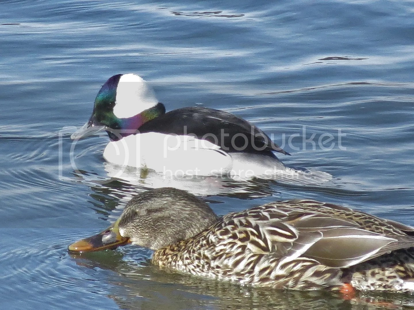 Bufflehead Drake with Mallard photo IMG_7935_zpsl44kt7ms.jpg