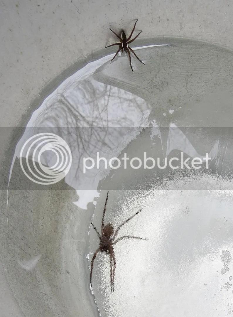 Fishing Spiders in Sap Bucket photo IMG_8377_zpsofjnav4a.jpg