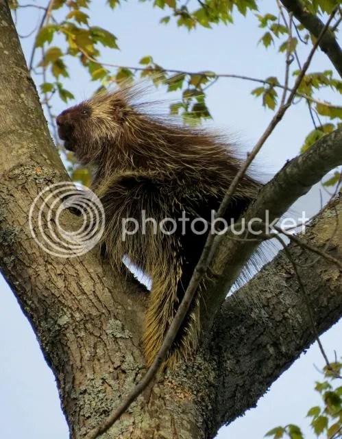 Porcupine in a Tree photo PorcupineinaTree_zpsb9d2d04d.jpg