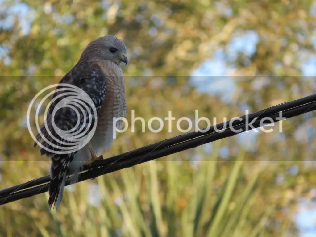 Red-shouldered Hawk photo Red-shoulderedHawk3_zps817fa6af.jpg