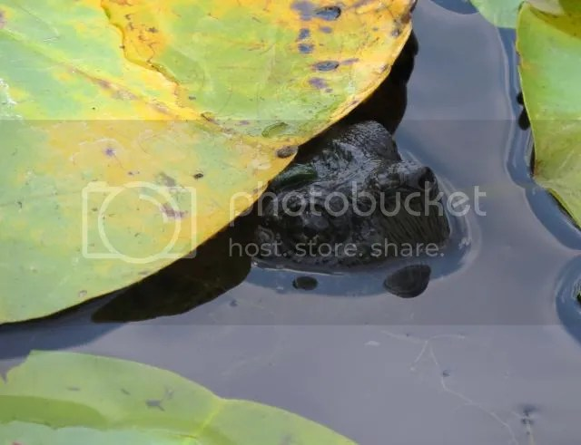Snapping Turtle Peering Out form Under Water Lily photo SnappingturtlepeeringfromunderWaterlily_zps3baaea75.jpg