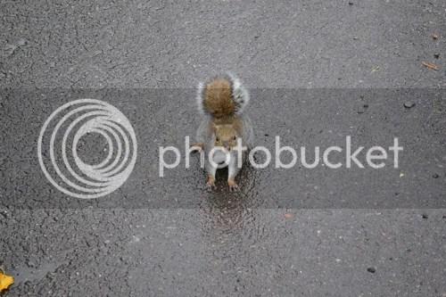 Tämä ei ollut eläintarhassa, mutta sen vaan sanon, että lontoolaiset oravat on isoja! Puolta isompia kuin täkäläiset!