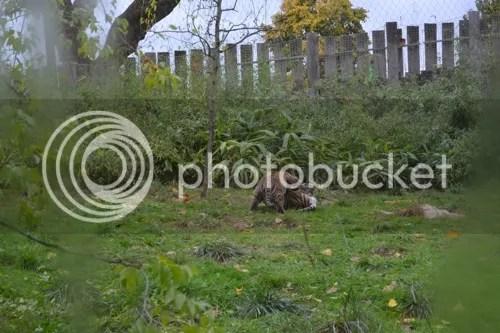 Lontoon eläintarhassa on tiikerinpentuja!