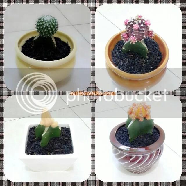 kaktus hias 3