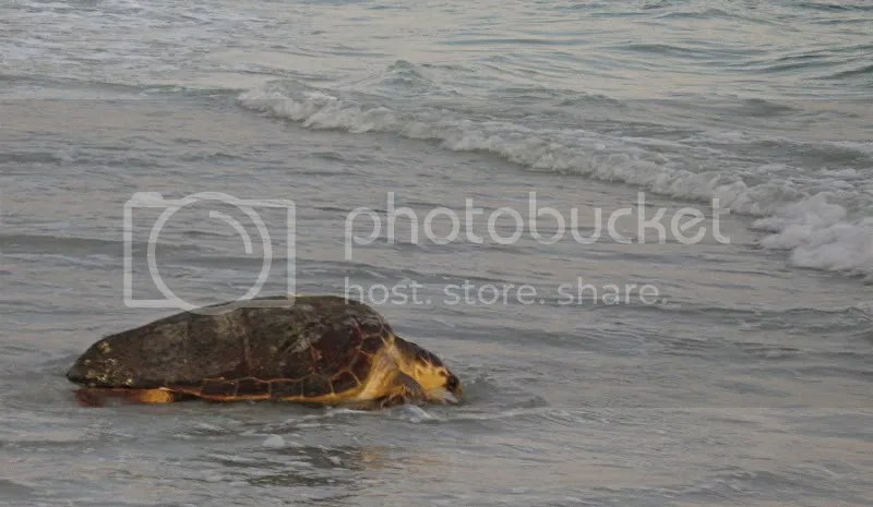 Sanibel Island loggerhead Pictures, Images and Photos
