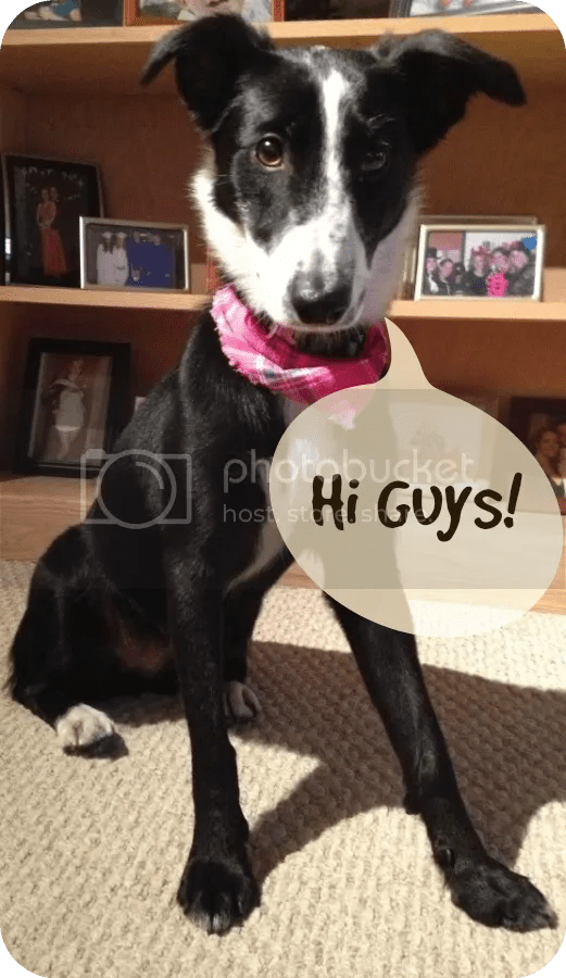 border collie, blog, guest post, dog