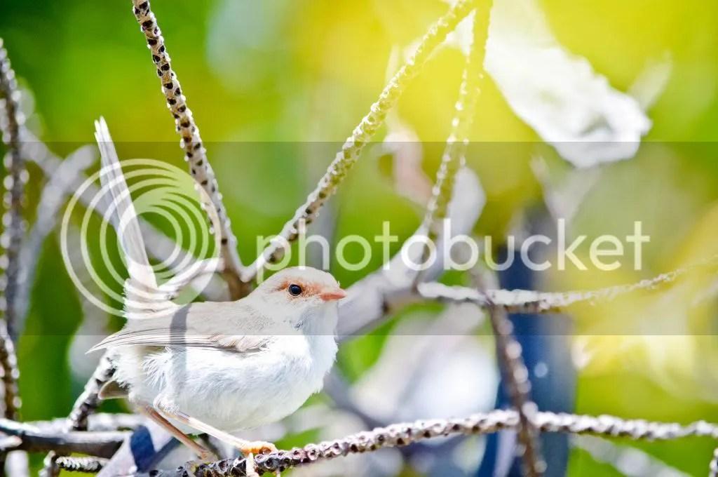 Female Superb Fairy-Wren