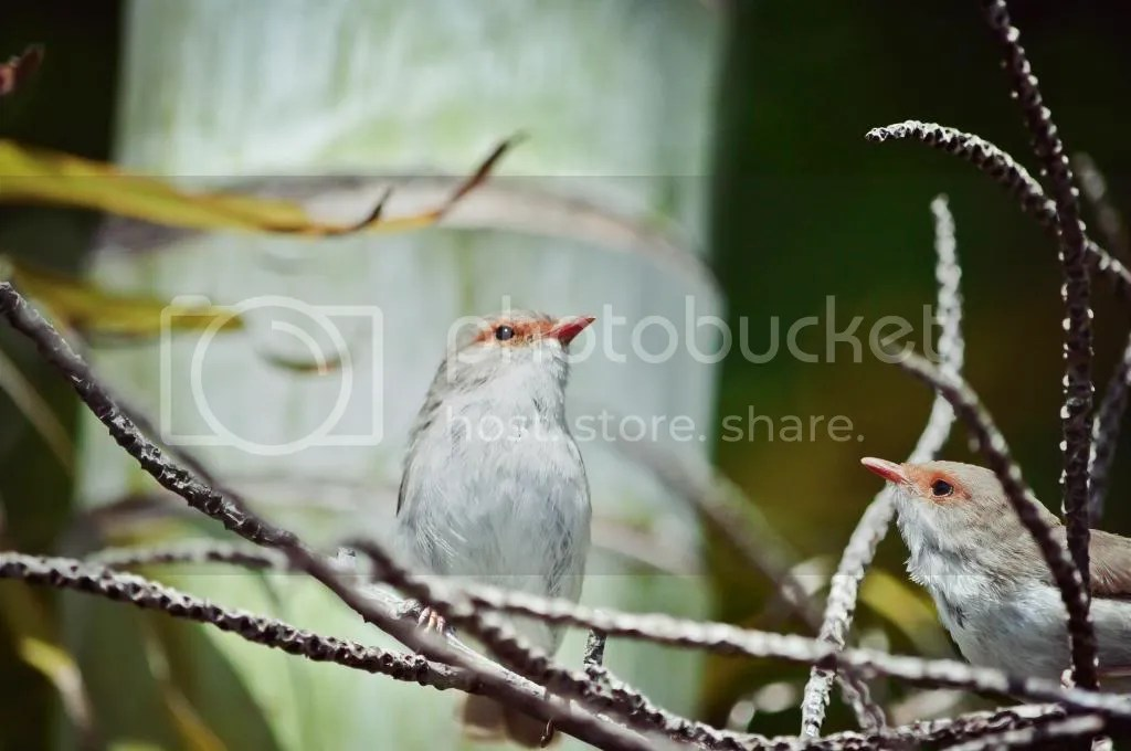 Female Superb Fairy-Wren