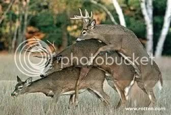 gay deers mating