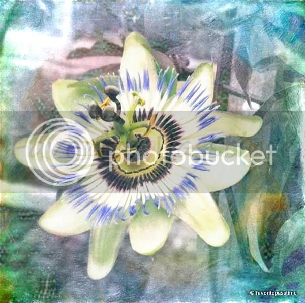 texturedpassifloraincarnata