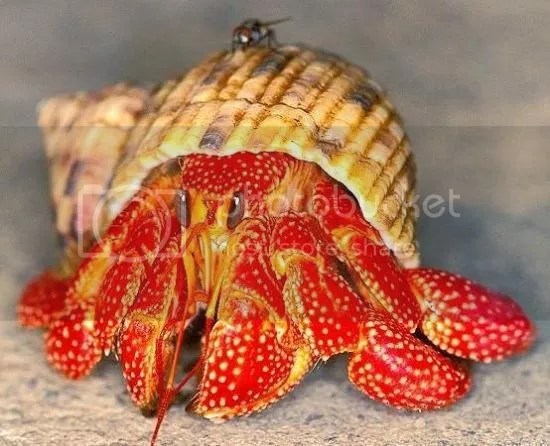 Mengenal Kelomang Yang Eksotis, Jenis2, dan Crabitatnya