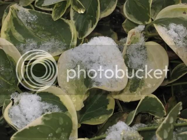 snow on varigated vinca