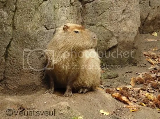 De opper capibara kijkt toe