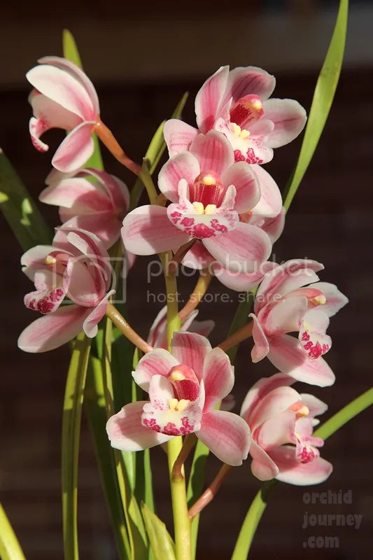 Cymbidium Little Sarah 'Not Feathered Fantasy'