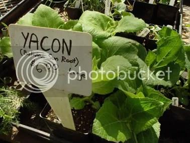 Yacon plant start
