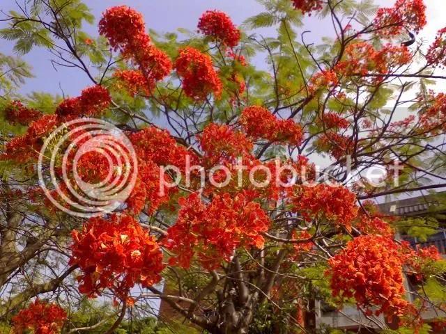 Dưới màu hoa như lửa cháy khát khao