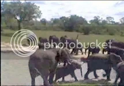 elephants photo: Elephants el4205.jpg