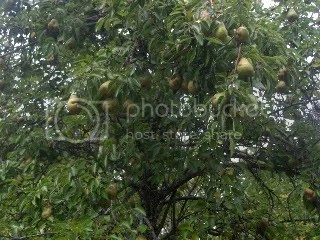 Pear Tree II