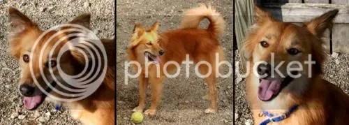 finnish spitz mix.  fox dog